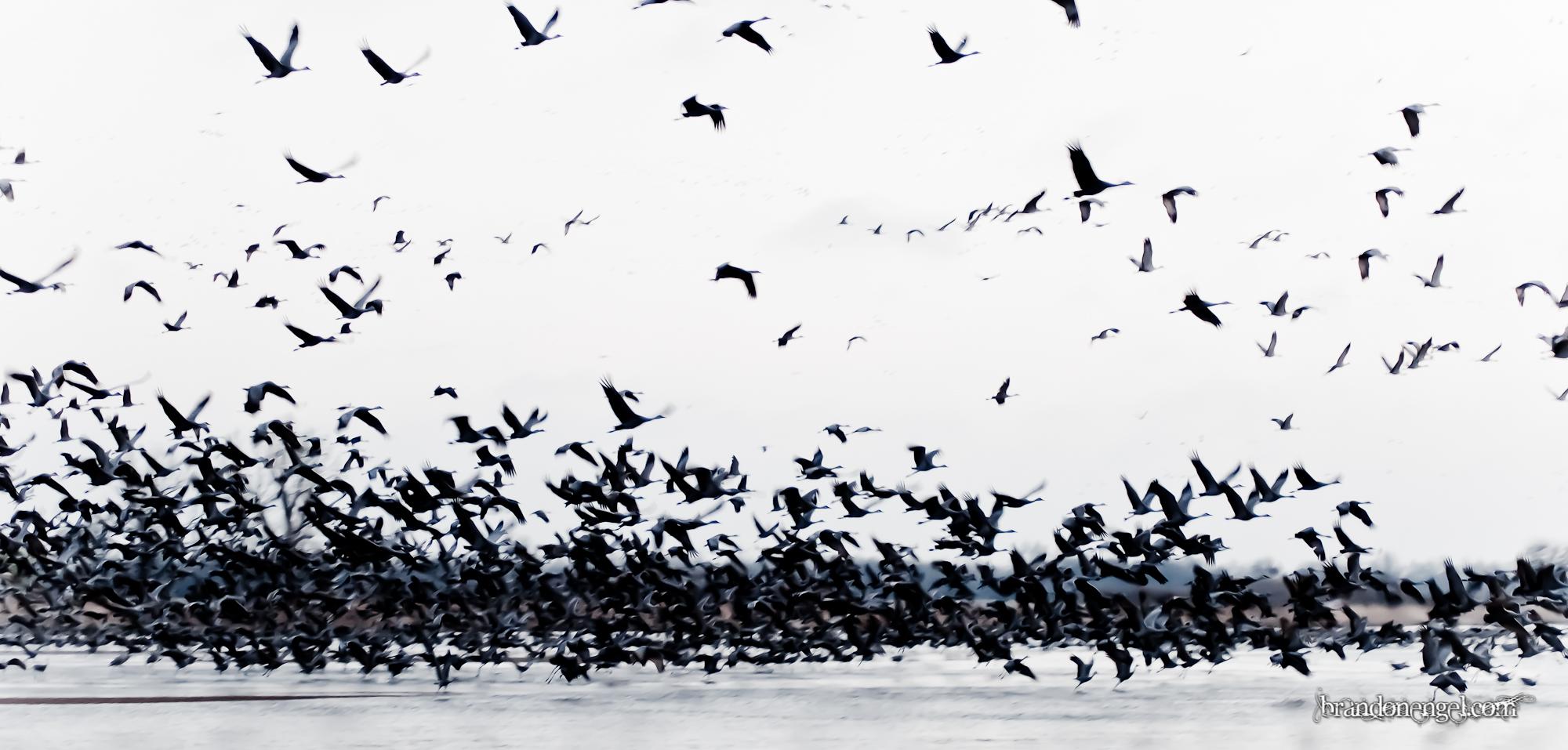Cranes Take Flight.